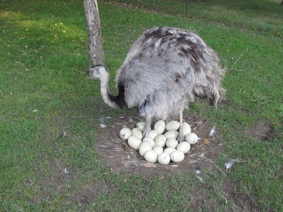Buy Ostrich Chicks Parrots And Eggs