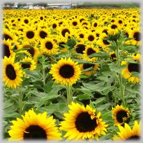 Buy Bottled Sunflower Exporters