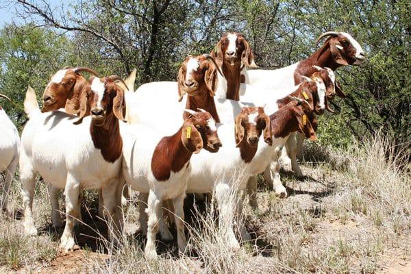 Livestock Full Blood Boer Goats for sale