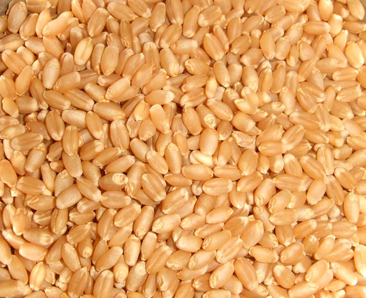Quality Wheat grain / DURUM WHEAT for sale