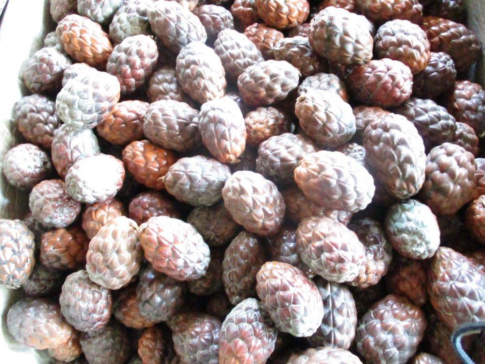 Raphia farinifera Seed Raphia Hookeri Seeds