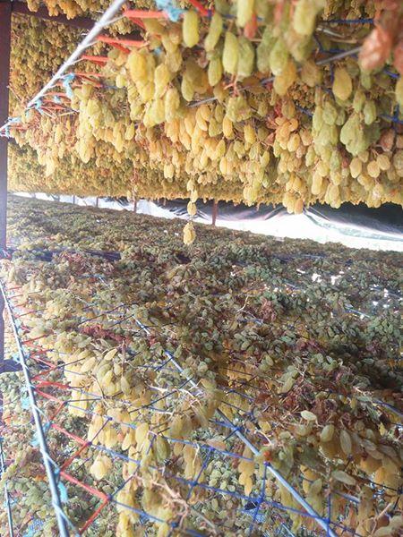 High Quality Dried fruits raisins / all type raisins / Organic Raisins