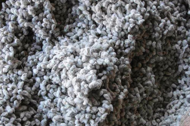 Buy Cotton seed