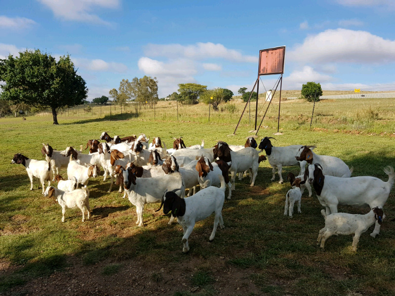 Holstein Heifers Cows and Boer Goats and Awassi Sheep