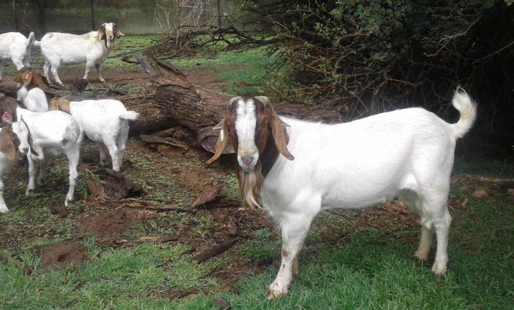 100 % Full Blooded Boer Goats