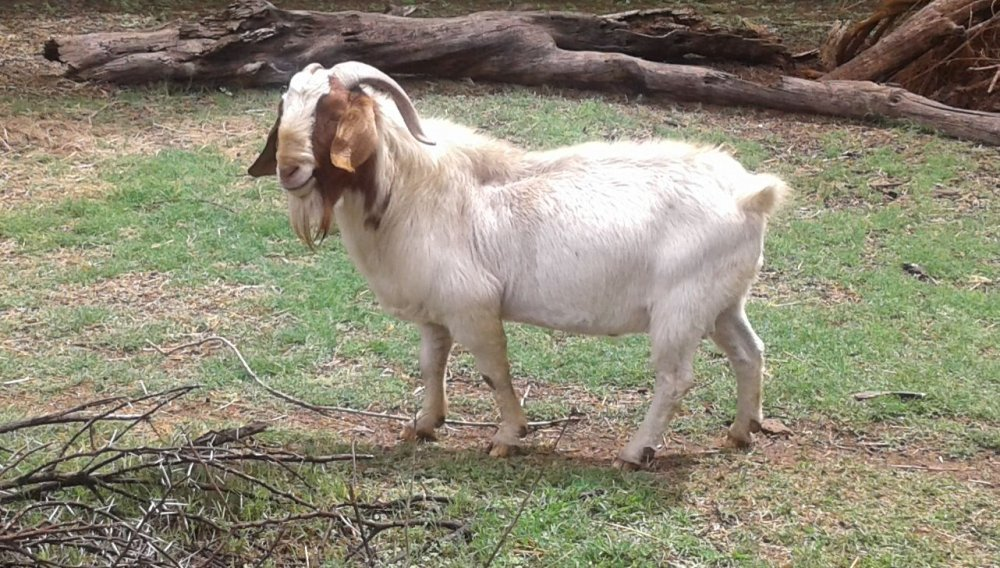Live Saanen Goats for Sale