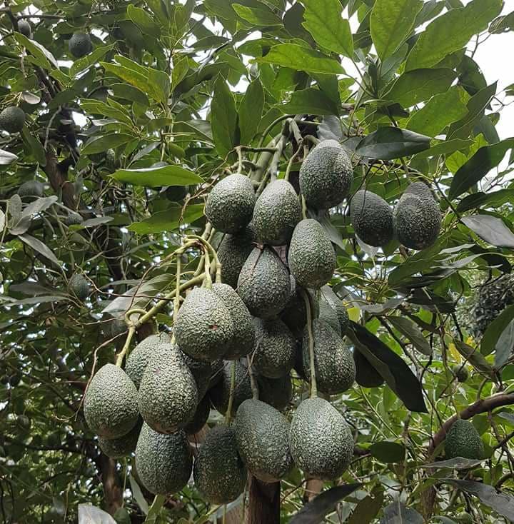 Fresh Avocado Fruits