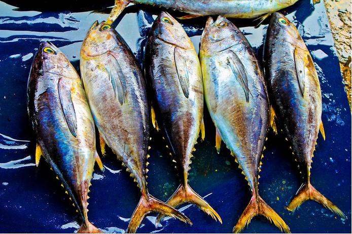 Sea Frozen Yellow Fin Tuna