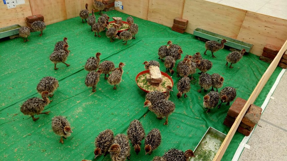 Fertile Ostrich Eggs and Chicks for Sale