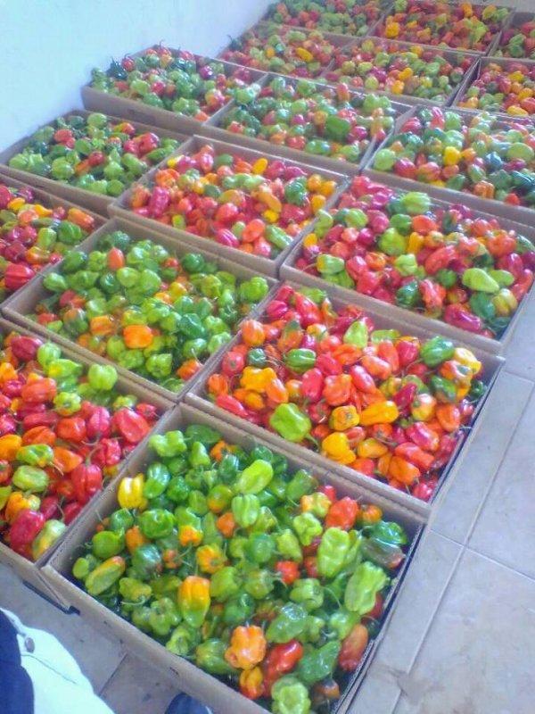 Green Pepper /Red Pepper