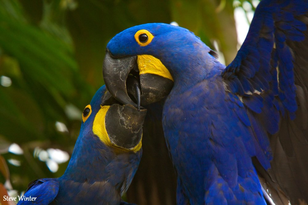 Pair of Macaw Parrots for sale.