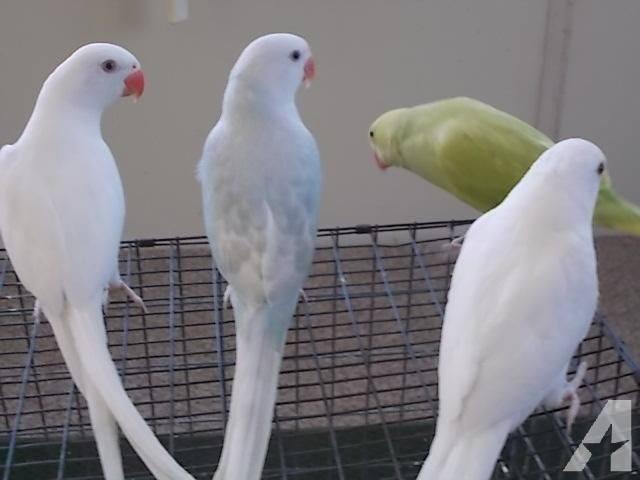 Cockaroo Parrots for sale