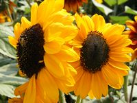 Sunflower - Miniature