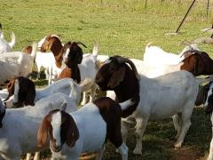 Boer Goats,Pregnant Holstein Heifers Cow/, Live