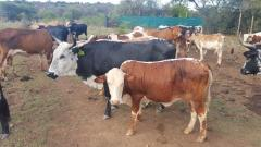 We supply live sheep , & Live Goats , & cattle ( steers and cows), calf ( young )