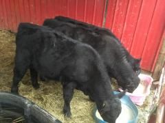 Breeding cattle