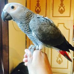 Lovely Pair of African Grey for Sale