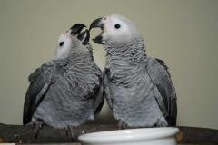 Talking Tame African Grey