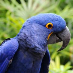Blue & Gold macaw. Proven breeder / Hycinth...