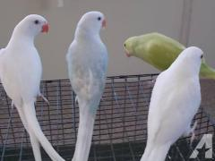 Cockaroo Parrots for sale