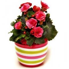 Begonia in a pot