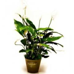 Peace lily in a pot