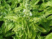 Basil - Sweet, Large Leaf