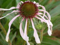 Coneflower - Pink