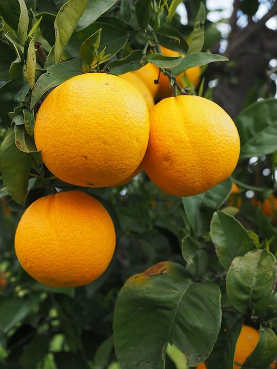 fresh_naval_and_valencia_oranges_naval_and
