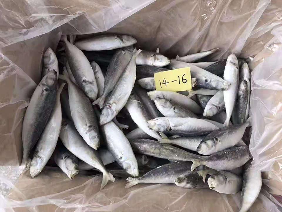 frozen_tilapia_fish