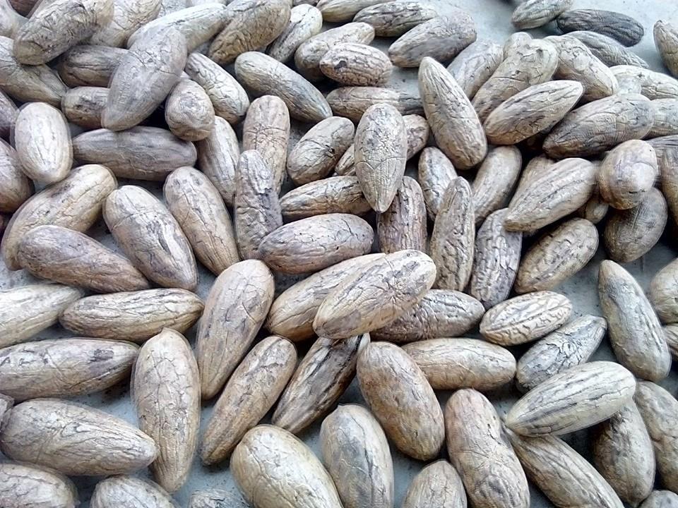 raphia_farinifera_seed_raphia_hookeri_seeds