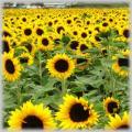 Bottled Sunflower Exporters