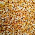 Corn Maize for sale